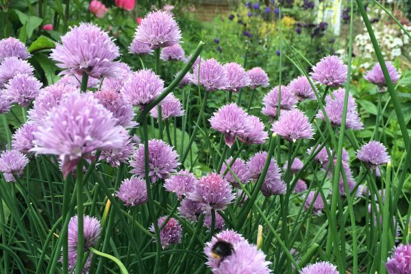 Bees attracted to the chives at the Martineau Gardens' herb beds