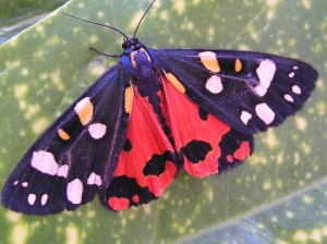 Scarlett Tiger Moth at Martineau Gardens photo: A Curran