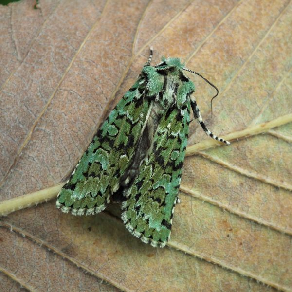 moths at martineau gardens martineau gardens. Black Bedroom Furniture Sets. Home Design Ideas